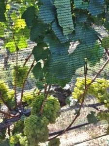 Beautiful grapes.