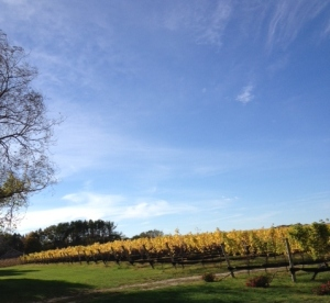 The vines in fall, when most of the grapes have been picked.