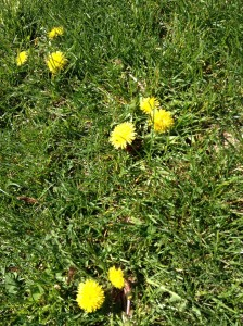 I was wondering why no one on the North Fork makes dandelion wine.