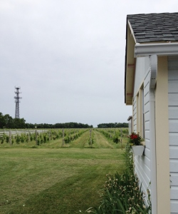 The vines are in full leaf now.