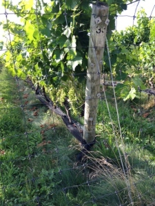 If you look carefully at this picture of the grape vines, you'll notice that they don't use herbicides.