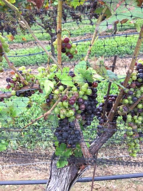 c grapes
